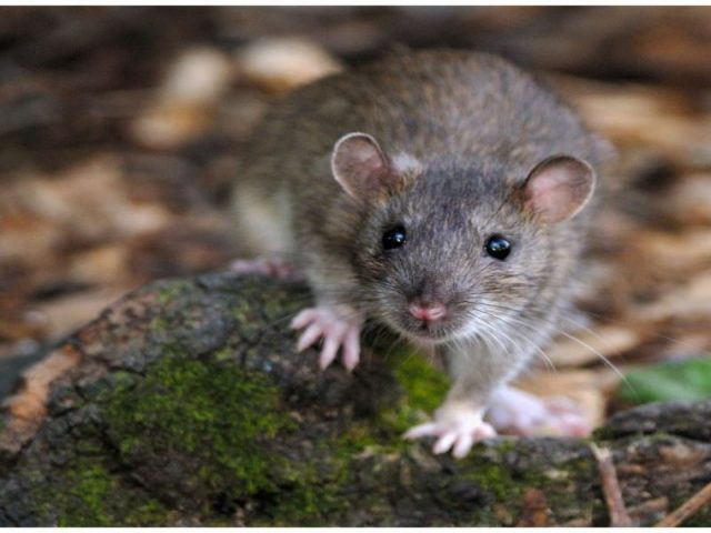 Buhari's Speech and the Rodents' Invasion